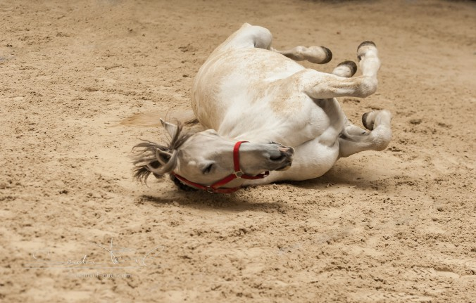 Wälzen = wichtige Gesundheitspflege für Pferde