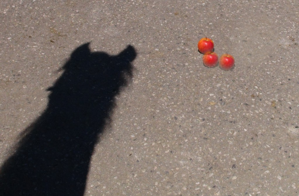 Wie viel Äpfel für ein Pferd