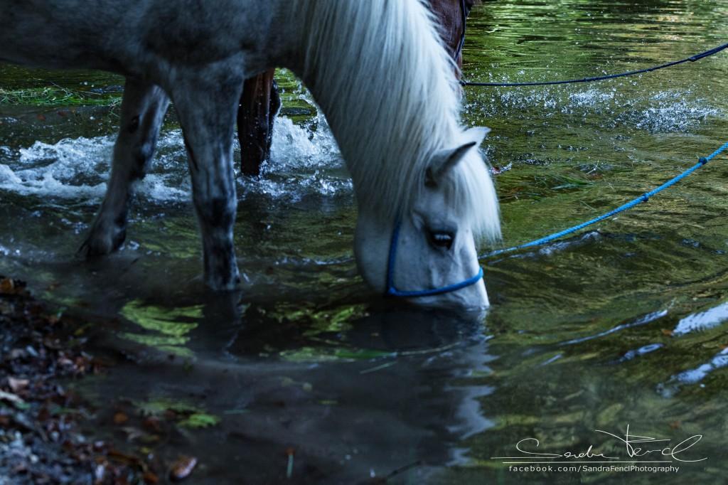 Pferd ins Wasser