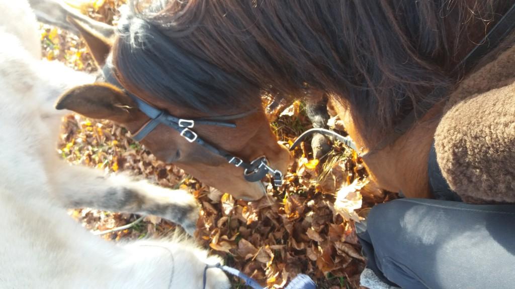 Pferd das Hinlegen beibringen