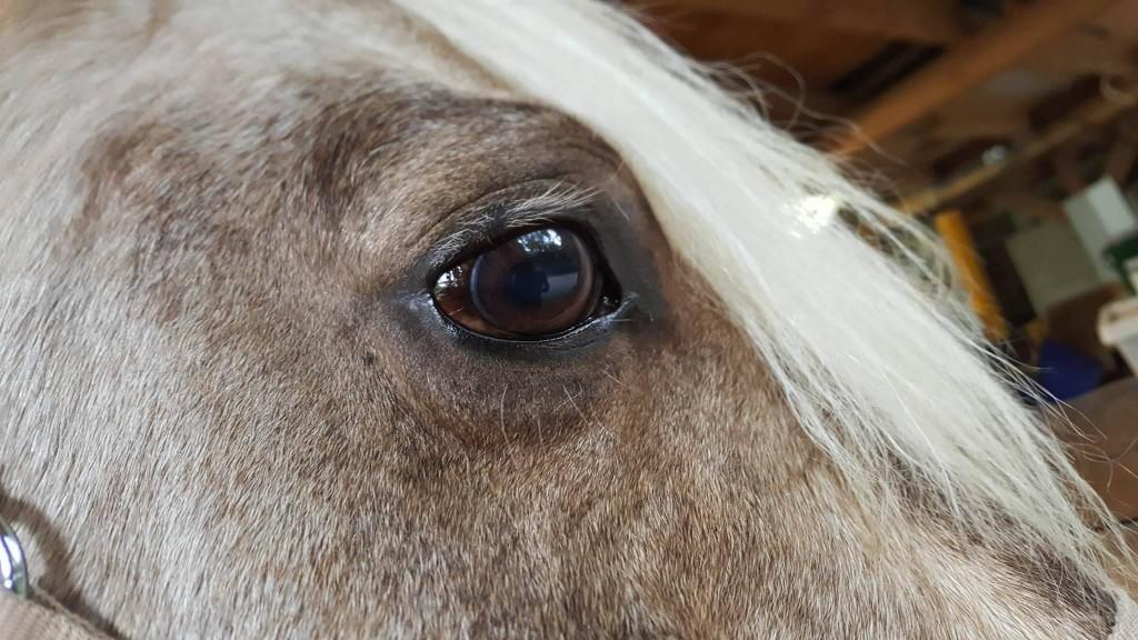 Das Auge des selben Therapiepferdes - NACH der Behandlung