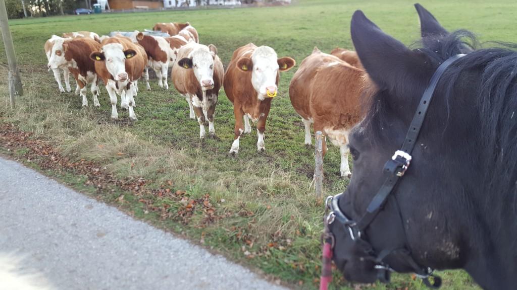 Dank Handpferde-Training konnte Afra ihre Rinderphobie überwinden :)
