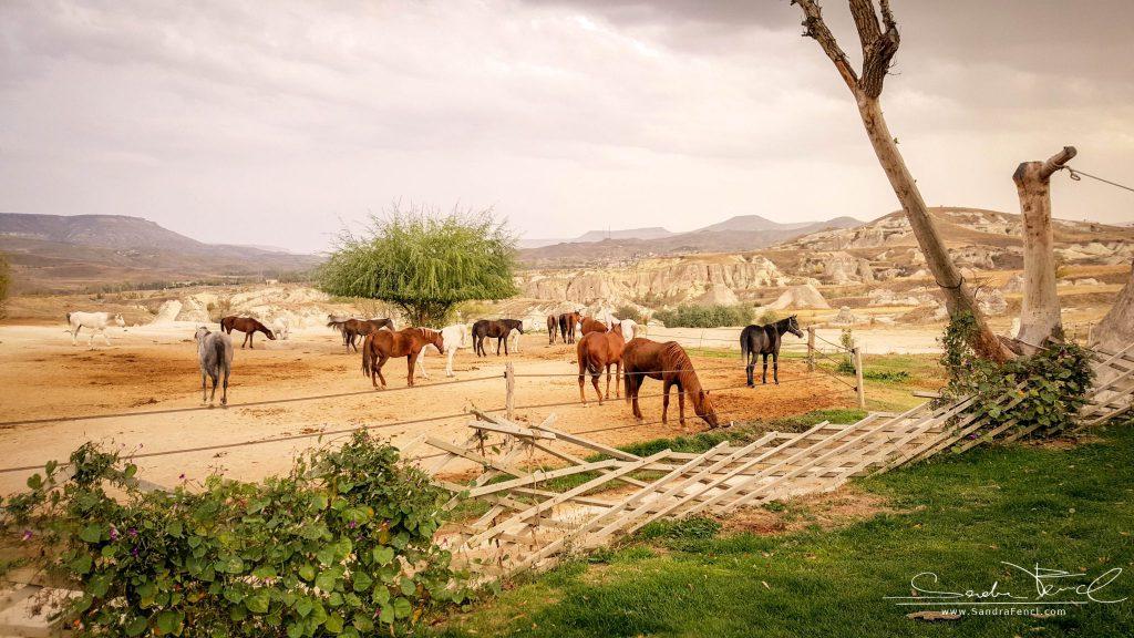 Die Pferde der Kapadokya Ranch leben in großen Paddocks und sind alle sehr gepflegt.