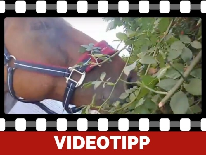 Quicktipp Warum Hagebutten für Pferde Gesund sind