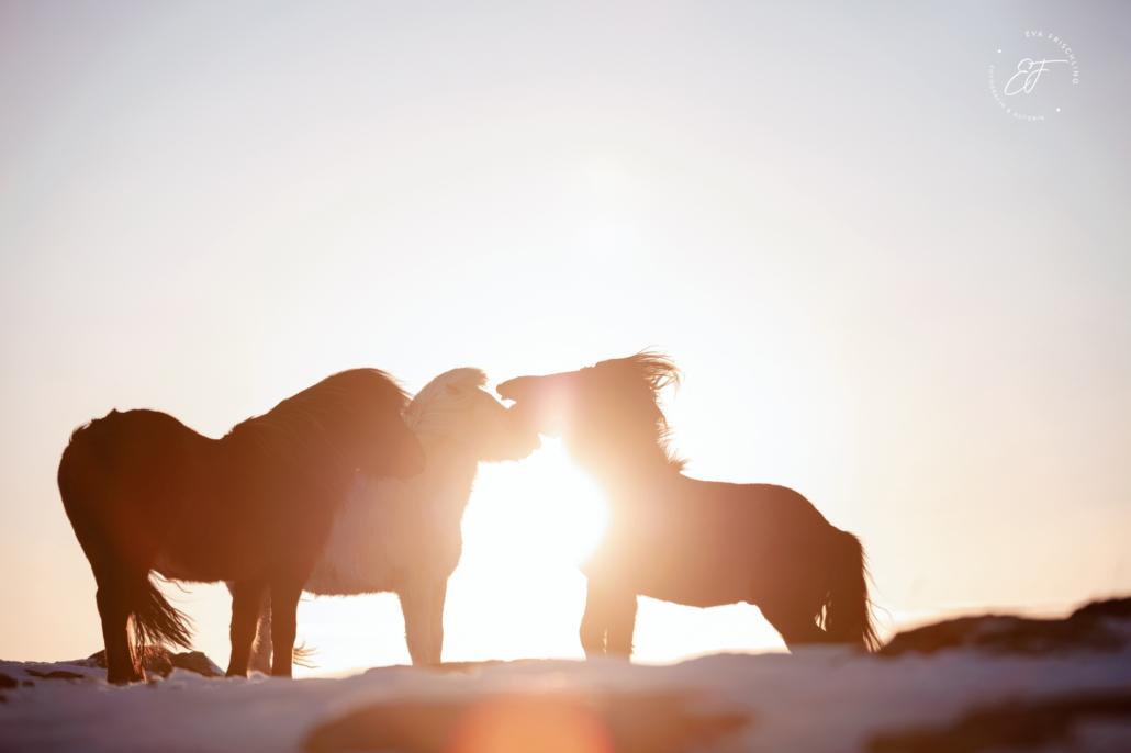 Hengstherde auf Island im Sonnenschein