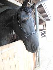 Kappzaum für Pferde
