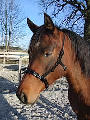 Pferde Kappzaum