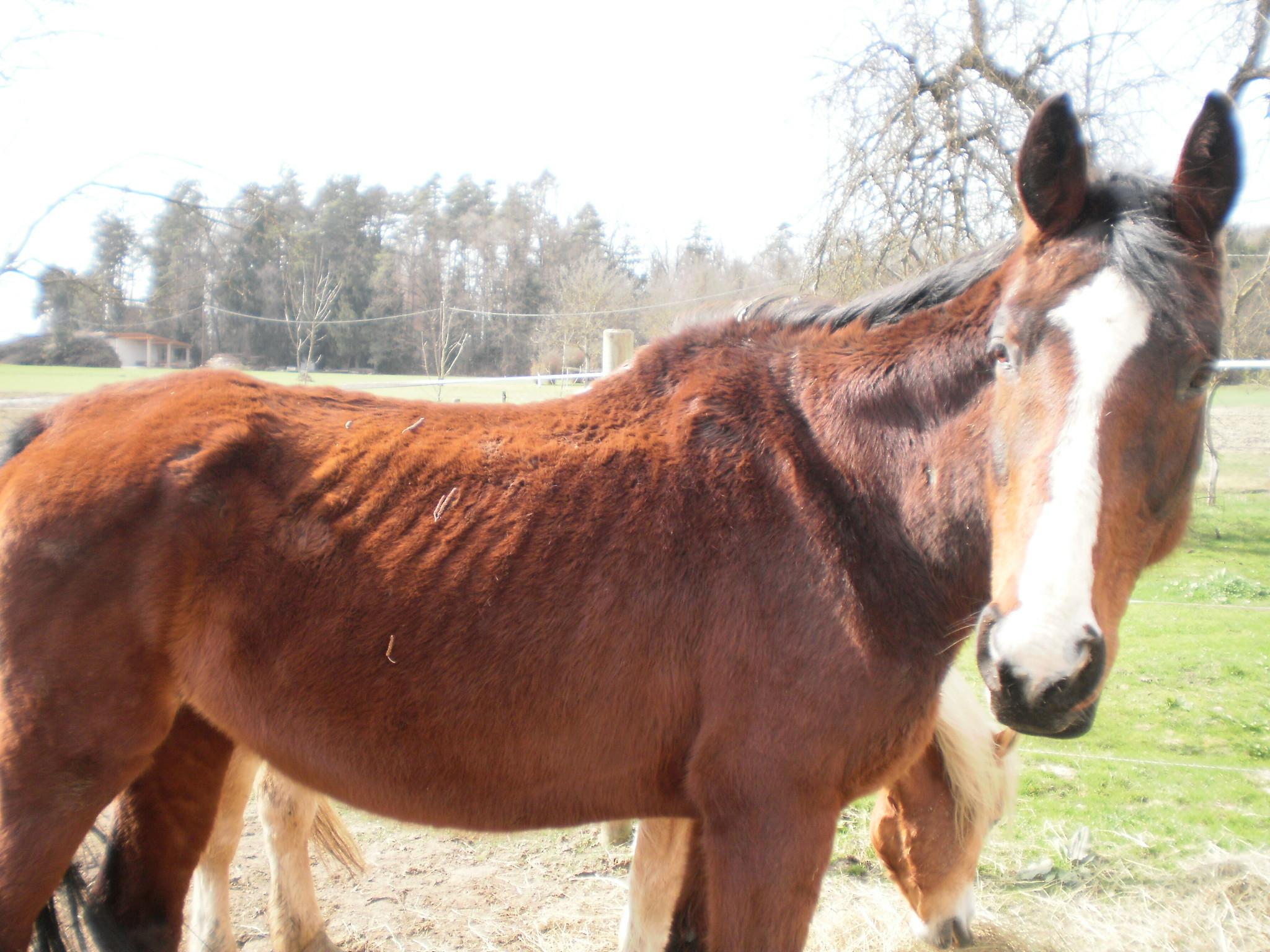 pferd gähnt ständig